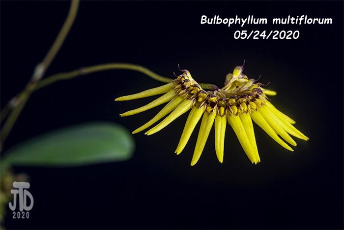 Name:  Bulbophyllum multiflorum3 05242020.jpg Views: 25 Size:  84.1 KB