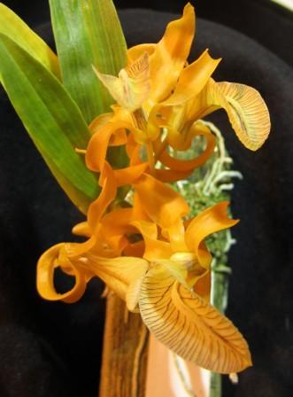 Name:  Dendrobium unicum.jpg Views: 526 Size:  21.8 KB