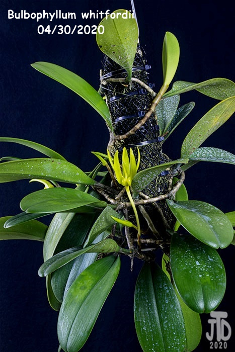 Name:  Bulbophyllum whitfordii1 04302020.jpg Views: 53 Size:  148.3 KB