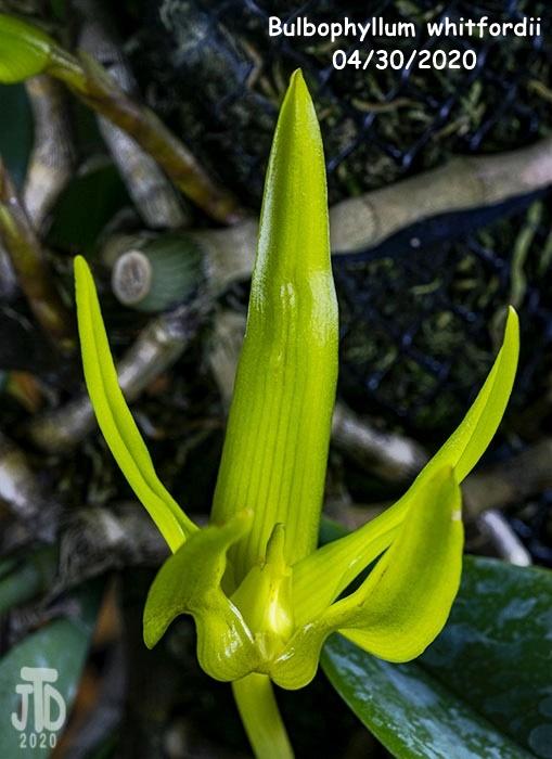 Name:  Bulbophyllum whitfordii2 04302020.jpg Views: 45 Size:  122.7 KB