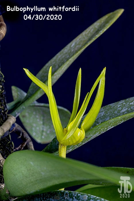 Name:  Bulbophyllum whitfordii3 04302020.jpg Views: 49 Size:  102.3 KB