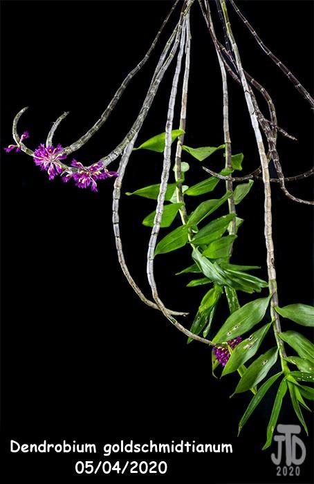 Name:  Dendrobium goldschmidtianum1 05032020.jpg Views: 53 Size:  100.0 KB
