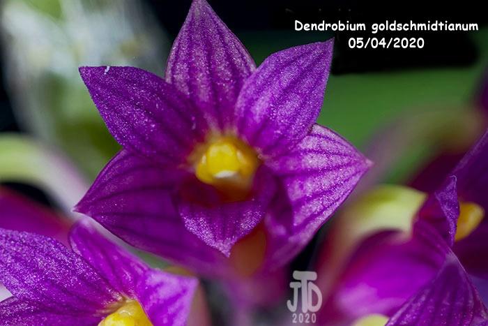 Name:  Dendrobium goldschmidtianum2 05032020.jpg Views: 52 Size:  116.2 KB