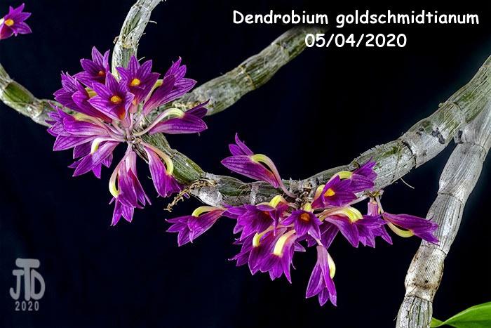 Name:  Dendrobium goldschmidtianum3 05032020.jpg Views: 51 Size:  132.4 KB