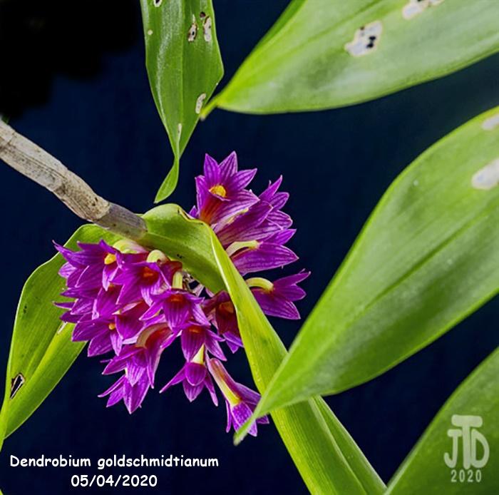 Name:  Dendrobium goldschmidtianum4 05032020.jpg Views: 52 Size:  158.1 KB