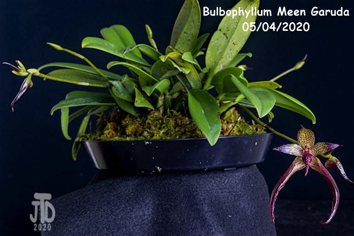 Name:  Bulbophyllum Meen Garuda1 05042020.jpg Views: 41 Size:  139.0 KB