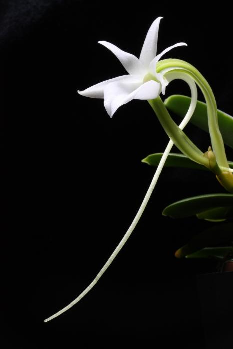 Name:  Angraecum equitans1.jpg Views: 49 Size:  175.0 KB