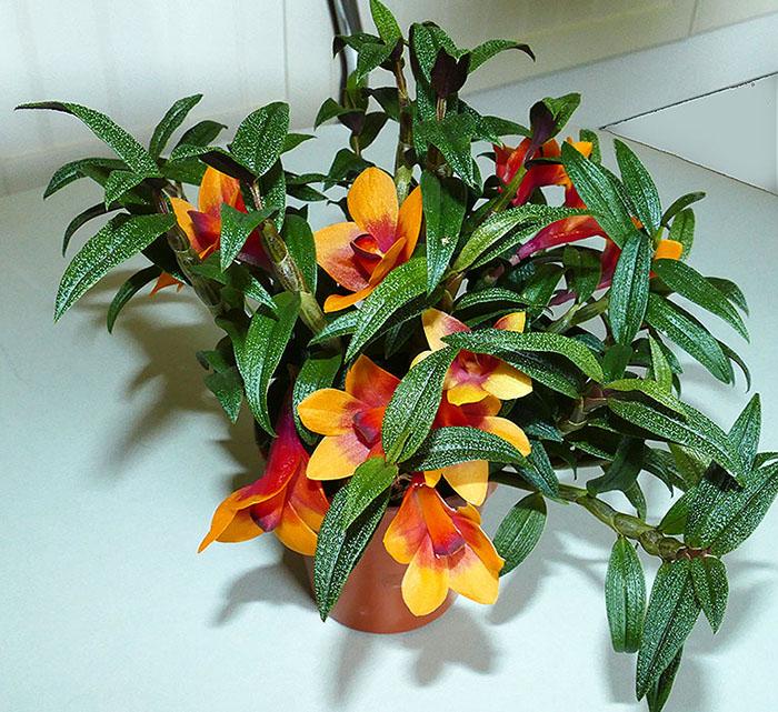Name:  Dendrobium-cuthbertsonii.3..jpg Views: 47 Size:  183.8 KB