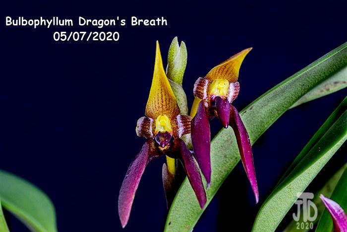 Name:  Bulbophyllum Dragon's Breath4 05082020.jpg Views: 60 Size:  149.0 KB
