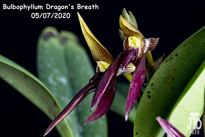 Name:  Bulbophyllum Dragon's Breath3 05082020.jpg Views: 60 Size:  122.2 KB
