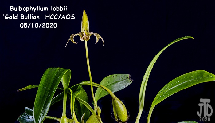 Name:  Bulbophyllum lobbii 'Gold Bullion' HCC-AOS1 05102020.jpg Views: 39 Size:  91.3 KB