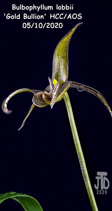 Name:  Bulbophyllum lobbii 'Gold Bullion' HCC-AOS3 05102020.jpg Views: 41 Size:  82.9 KB
