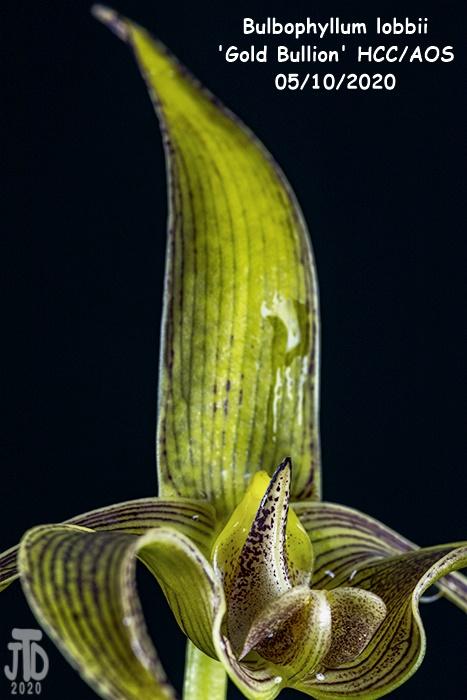 Name:  Bulbophyllum lobbii 'Gold Bullion' HCC-AOS2 05102020.jpg Views: 39 Size:  118.2 KB