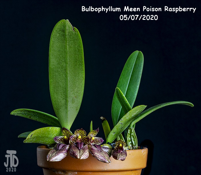 Name:  Bulbophyllum Meen Poison Raspberry1 05072020.jpg