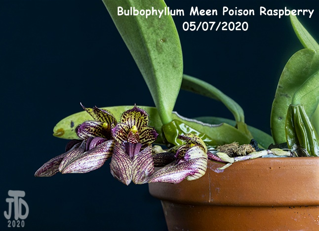 Name:  Bulbophyllum Meen Poison Raspberry3 05072020.jpg