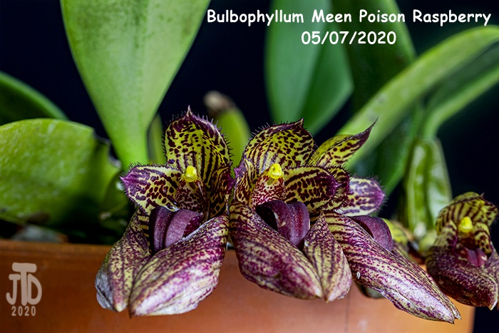 Name:  Bulbophyllum Meen Poison Raspberry2 05072020.jpg