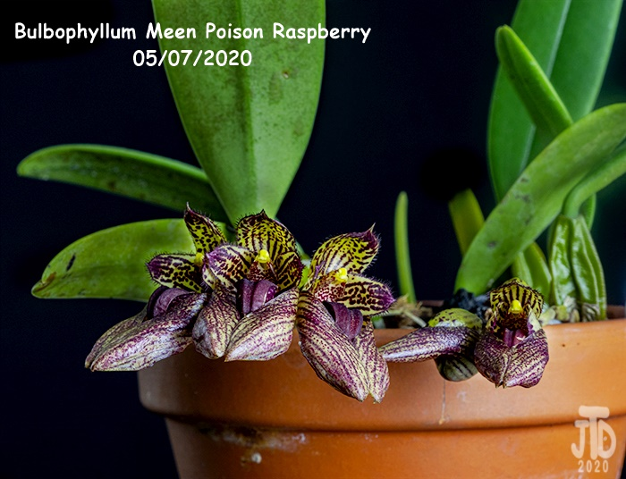 Name:  Bulbophyllum Meen Poison Raspberry4 05072020.jpg