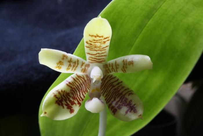 Name:  Phalaenopsis inscriptiosinensis.jpg Views: 60 Size:  257.9 KB