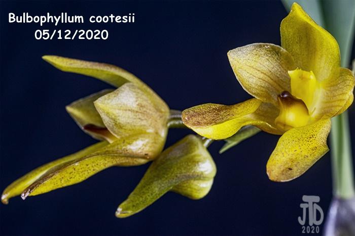 Name:  Bulbophyllum cootesii2 05122020.jpg Views: 36 Size:  114.3 KB