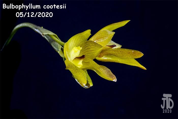 Name:  Bulbophyllum cootesii3 05122020.jpg Views: 38 Size:  107.8 KB