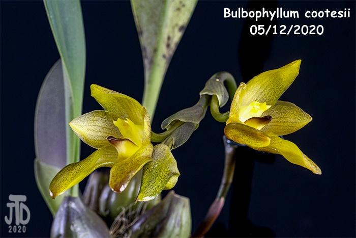 Name:  Bulbophyllum cootesii4 05122020.jpg Views: 35 Size:  110.5 KB