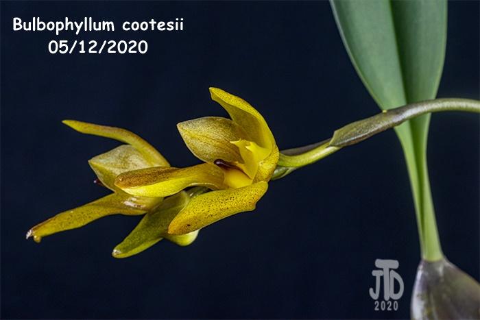 Name:  Bulbophyllum cootesii5 05122020.jpg Views: 36 Size:  95.5 KB