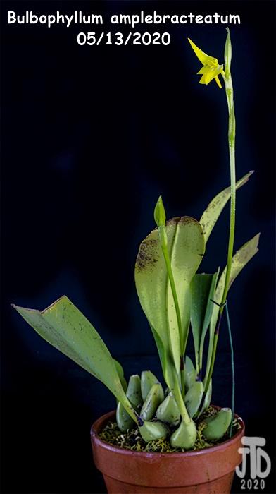 Name:  Bulbophyllum amplebracteatum1 05132020.jpg Views: 44 Size:  97.7 KB