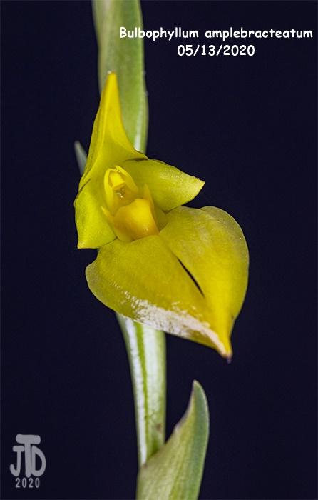 Name:  Bulbophyllum amplebracteatum4 05132020.jpg Views: 42 Size:  83.8 KB