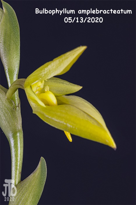 Name:  Bulbophyllum amplebracteatum3 05132020.jpg Views: 43 Size:  93.0 KB