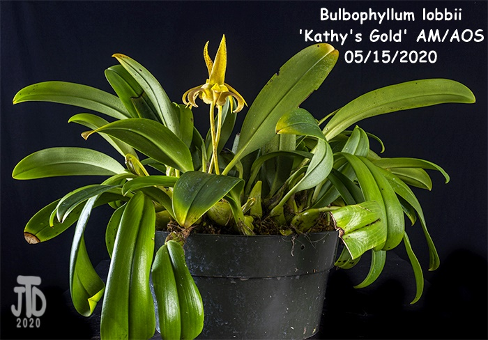 Name:  Bulbophyllum lobbii 'Kathy's Gold' AM-AOS1 05152020.jpg