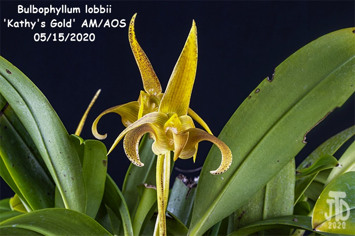 Name:  Bulbophyllum lobbii 'Kathy's Gold' AM-AOS3 05152020.jpg