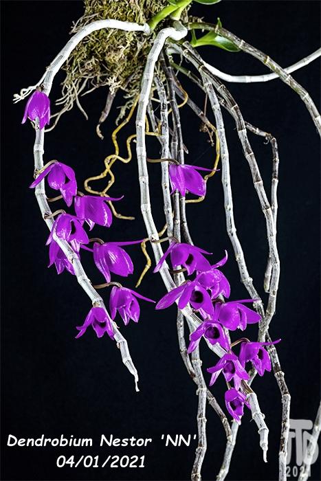 Name:  Dendrobium Nestor 'NN'4 03312021.jpg Views: 108 Size:  313.9 KB