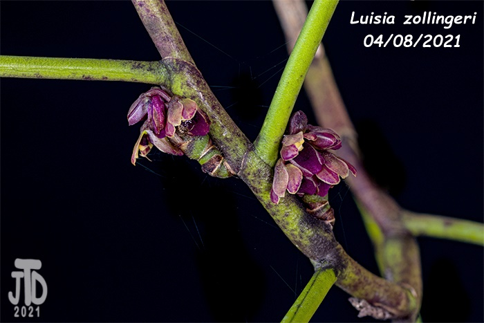Name:  Luisia zollingeri3 04082021.jpg Views: 60 Size:  112.1 KB