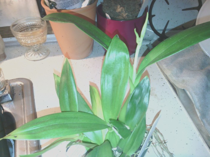 Name:  Encyclia.jpg