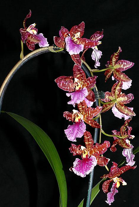 Name:  Rhyncostele-Violetta-van-Holme.jpg Views: 67 Size:  98.9 KB