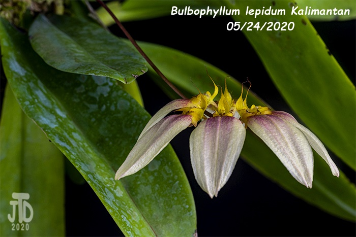 Name:  Bulbophyllum lepidum Kalimantan3 05242020.jpg Views: 39 Size:  118.2 KB