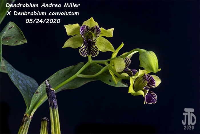 Name:  Dendrobium Andrea Miller X Dendrobium convolutum5 05242020.jpg Views: 45 Size:  118.8 KB