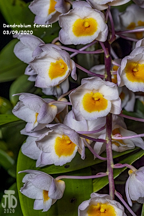 Name:  Dendrobium farmeri2 03102020.jpg Views: 77 Size:  170.8 KB