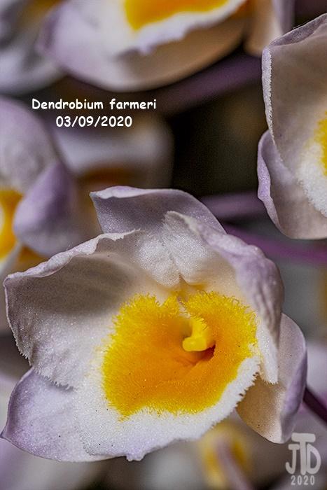 Name:  Dendrobium farmeri4 03102020.jpg Views: 76 Size:  140.4 KB