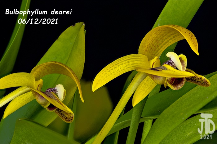 Name:  Bulbophyllum dearei2 06122021.jpg Views: 55 Size:  131.1 KB