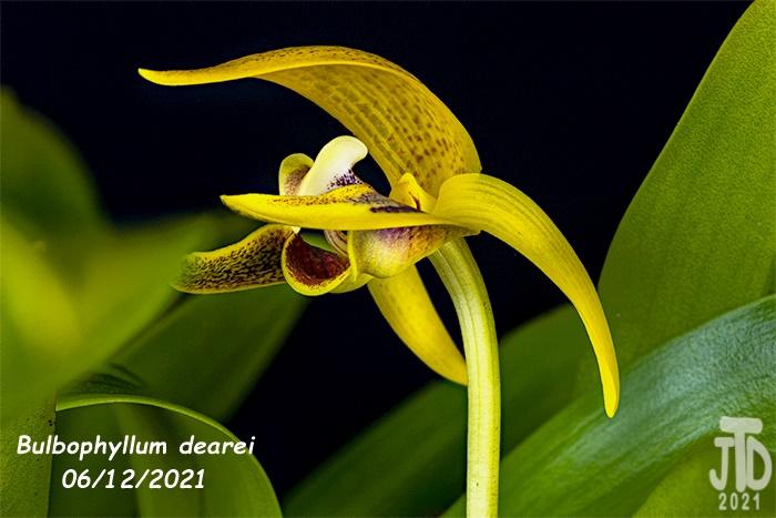 Name:  Bulbophyllum dearei4 06122021.jpg Views: 54 Size:  132.0 KB
