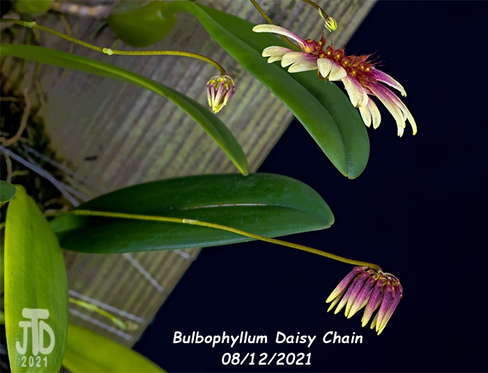 Name:  Bulbophyllum Daisy Chain2 08122021.jpg Views: 35 Size:  113.7 KB