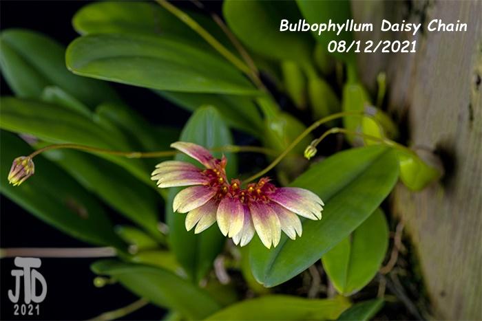Name:  Bulbophyllum Daisy Chain4 08122021.jpg Views: 32 Size:  104.4 KB