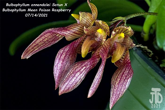 Name:  Bulbophyllum annandalei Satun X Bulbo. Meen Poison Raspberry1 08142021.jpg Views: 37 Size:  145.7 KB