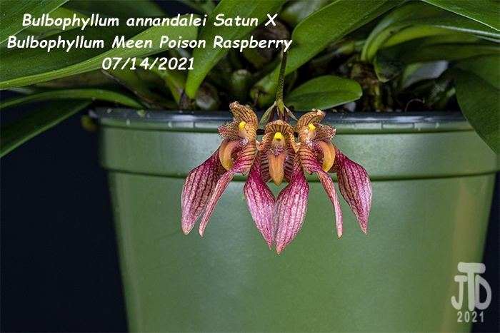 Name:  Bulbophyllum annandalei Satun X Bulbo. Meen Poison Raspberry3 08142021.jpg Views: 35 Size:  119.2 KB