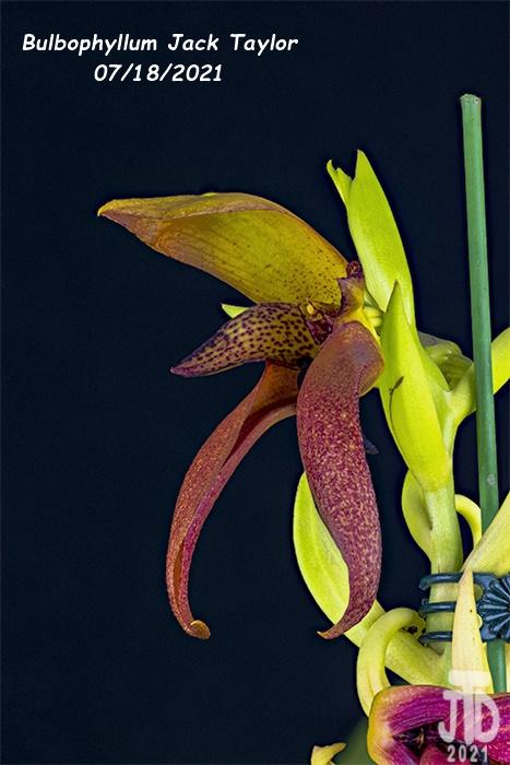 Name:  Bulbophyllum Jack Taylor2 07182021.jpg Views: 46 Size:  127.1 KB