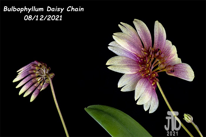 Name:  Bulbophyllum Daisy Chain1 08122021.jpg Views: 40 Size:  95.1 KB