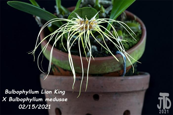 Name:  Bulbophyllum Lion King X Bulbo medusae3 02152021.jpg Views: 51 Size:  161.2 KB