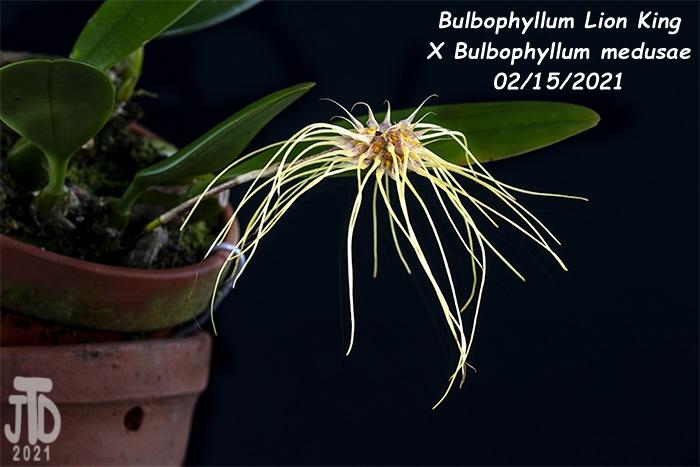 Name:  Bulbophyllum Lion King X Bulbo medusae4 02152021.jpg Views: 49 Size:  101.5 KB