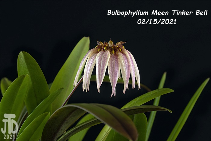 Name:  Bulbophyllum Meen Tinker Bell4 02152021.jpg Views: 62 Size:  93.2 KB